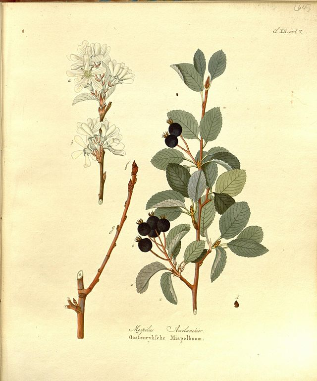aronia botanische illustration